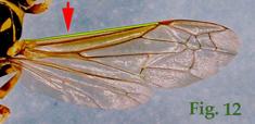 """12: """"Posición del nervio costal de las alas anteriores en Polistinae"""","""