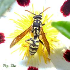 """13a: """"Coloración de la cara dorsal del flagelo antenal en Polistinae: Polistes dominula"""","""