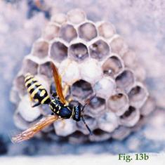 """13b: """"Coloración de la cara dorsal del flagelo antenal en Polistinae: Polistes biglumis"""","""