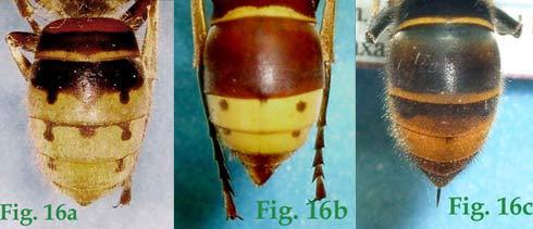 """16a: """"Coloración del abdomen en Vespa: Vespa crabro"""",16b: """"Coloración del abdomen en Vespa: Vespa orientalis"""",16c: """"Coloración del abdomen en Vespa: Vespa velutina nigrithorax"""","""
