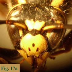 """17b: """"Coloración de la cara en Vespula: Vespula germanica"""","""