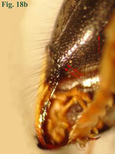 """18b: """"Arista occipital de Vespula: Vespula rufa"""","""