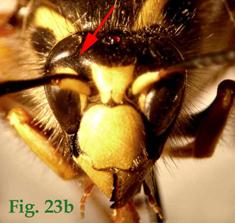 """23b: """"Coloración de los senos oculares en Dolichovespula: Dolichovespula sylvestris"""","""