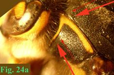 """24a: """"Coloración del pronoto en Dolichovespula: Dolichovespula media."""","""