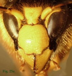 """25a: """"Coloración del clípeo en Dolichovespula: Dolichovespula sylvestris. """","""