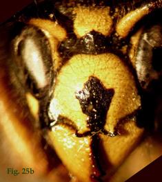 """25b: """"Coloración del clípeo en Dolichovespula: Dolichovespula adulterina. """","""