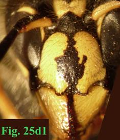 """25d: """"Coloración del clípeo en Dolichovespula: Dolichovespula saxonica."""","""