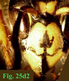 """25e: """"Coloración del clípeo en Dolichovespula: Dolichovespula saxonica. """","""