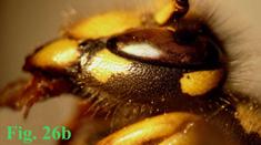 """26b: """"Coloración de las genas en Dolichovespula: Dolichovespula omissa. """","""