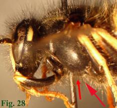 """28: """"Cara lateral del tórax de Dolichovespula norwegica y situación de la pilosidad distintiva. """","""