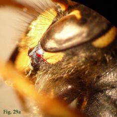 """29a: """"Espacio malar de Dolichovespula: Dolichovespula saxonica"""","""