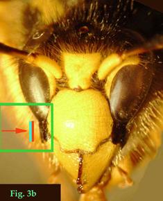 """3b: """"Espacio malar de Vespinae: Dolichovespula sylvestris."""""""