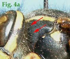 """4a: """"Pronoto de Vespinae en vista lateral:Vespula vulgaris."""""""