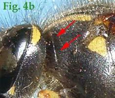 """4b: """"Pronoto de Vespinae en vista lateral:Dolichovespula pacifica. """""""
