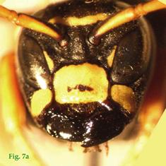 """7a: """"Coloración del clípeo en Polistinae parásitos: Polistes atrimandibularis. """","""