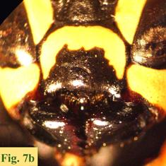 """7b: """"Coloración del clípeo en Polistinae parásitos: Polistes atrimandibularis.Polistes semenowi. """","""
