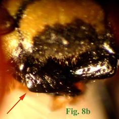"8b: ""Mandíbulas de Polistinae parásitos en vista dorsal:Polistes sulcifer. "","