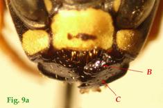 "9a: ""Mandíbulas de Polistinae parásitos en vista frontal:Polistes atrimandibularis. "","
